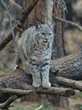 Bobcat. An image of a bobcat on a tree Stock Images