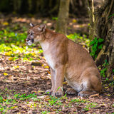 Bobcat in the jungle Royalty Free Stock Photos