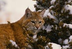 Bobcat in a Juniper. A bobcat sitting in a juniper in winter Stock Photos