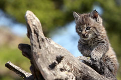 Bobcat Kitten. Closeup of a playful Bobcat Kitten Stock Images