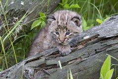 Bobcat Kitten com olhos azuis brilhantes Fotografia de Stock