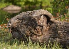 Bobcat Kitten Coming Out de um log oco Foto de Stock