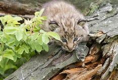 Bobcat Kitten Exploring zijn Habitat royalty-vrije stock afbeelding