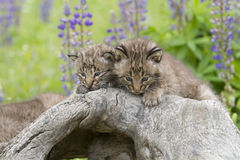 Bobcat Kitten Faces Royaltyfri Fotografi