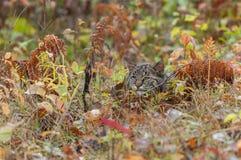 Bobcat Kitten Hides en las hierbas Foto de archivo libre de regalías