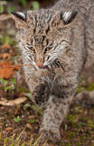 Bobcat Kitten (lodjurrufus) biter på gräs- ogräs Arkivbilder