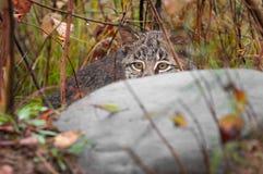 Bobcat Kitten (lodjurrufus) döljer vaggar bakom Royaltyfri Foto