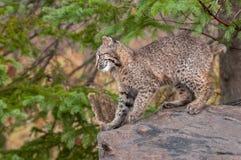 Bobcat Kitten (lodjurrufus) förbereder sig att hoppa Royaltyfri Fotografi