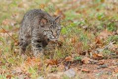 Bobcat Kitten (lodjurrufus) förföljer fast beslutsamt till och med gräs Royaltyfri Foto
