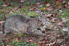 Bobcat Kitten (lodjurrufus) förföljer rätt Arkivbild