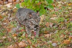 Bobcat Kitten (lodjurrufus) förföljer till och med gräs Fotografering för Bildbyråer