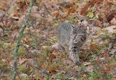 Bobcat Kitten (lodjurrufus) förföljer till och med gräsen Fotografering för Bildbyråer