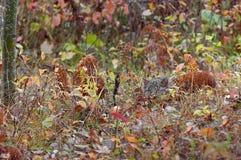 Bobcat Kitten (lodjurrufus) förföljer tittaren från gräs Royaltyfria Bilder