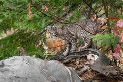 Bobcat Kitten (lodjurrufus) klättrar omkring på journal Royaltyfri Bild