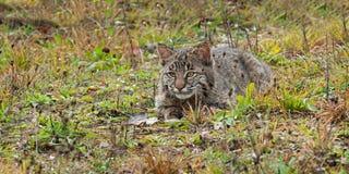 Bobcat Kitten (lodjurrufus) ligger i gräs Arkivbild