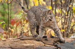 Bobcat Kitten (lodjurrufus) snabb vänd Arkivbild