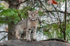 Bobcat Kitten (lodjurrufus) stirrar på tittaren från uppe på journal Arkivfoton