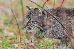 Bobcat Kitten (lodjurrufus) stjälk som lämnas till och med gräs Royaltyfri Fotografi