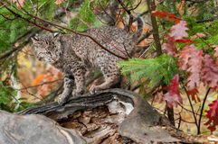 Bobcat Kitten Looks Right auf vom Klotz Lizenzfreie Stockfotos