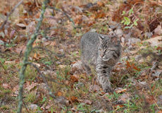 Bobcat Kitten (Luchs rufus) pirscht sich durch die Gräser an Stockbild