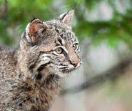 Bobcat Kitten (Luchs rufus) schaut rechte Nahaufnahme Stockfotos