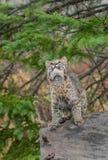 Bobcat Kitten (Luchs rufus) schaut Weise oben auf vom Klotz Stockbilder