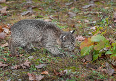 Bobcat Kitten (Lynx rufus) Cautiously Checks Leaves. Captive animal Royalty Free Stock Images