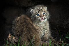 Bobcat Kitten Lynx rufus Gets Crawled Over by Sibling Stock Image