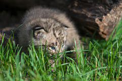 Bobcat Kitten Lynx rufus in the Grass Stock Photos