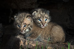 Bobcat Kitten Lynx rufus Head Over Sibling. Captive animals Royalty Free Stock Photo