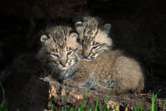 Bobcat Kitten Lynx rufus Head Over Sibling. Captive animals Stock Photo