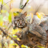 Bobcat Kitten (Lynx rufus) Hides. Captive animal Royalty Free Stock Images