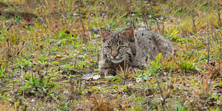 Bobcat Kitten (Lynx rufus) Lies in Grasses. Captive animal Stock Photography