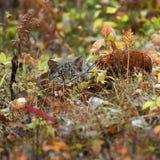 Bobcat Kitten (Lynx rufus) Lies Hidden in the Grass. Captive animal Stock Image