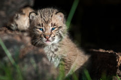 Bobcat Kitten Lynx rufus Looks Out Over Log Royalty Free Stock Photos