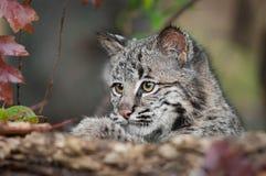 Bobcat Kitten (Lynx rufus) Looks Over Log. Captive animal Stock Images
