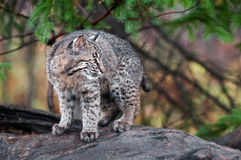 Bobcat Kitten (Lynx rufus) Looks Right Royalty Free Stock Photos