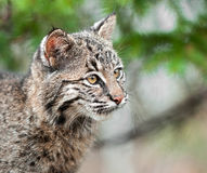 Bobcat Kitten (Lynx rufus) Looks Right Closeup. Captive animal Stock Photos