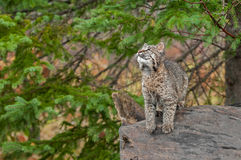 Bobcat Kitten (Lynx rufus) Looks Up While Preparing to Leap. Captive animal Royalty Free Stock Photography
