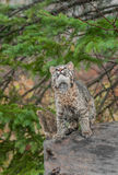 Bobcat Kitten (Lynx rufus) Looks Way Up From Atop Log. Captive animal Stock Images