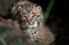 Bobcat Kitten Lynx-rufus omhoog Dicht alleen in Logboek Stock Foto's