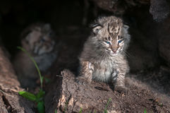 Bobcat Kitten Lynx rufus Peers Out Into Sun Royalty Free Stock Photos