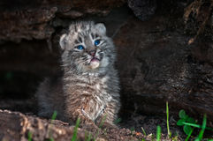 Bobcat Kitten Lynx rufus Poses in Log Royalty Free Stock Photos