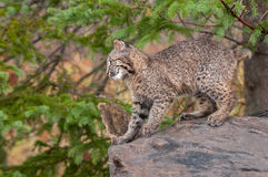 Bobcat Kitten (Lynx rufus) Prepares to Leap. Captive animal Royalty Free Stock Photography