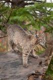 Bobcat Kitten (Lynx rufus) Prepares to Pounce Stock Image