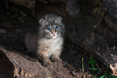 Bobcat Kitten Lynx rufus Sits Alone in Log. Captive animal Royalty Free Stock Photography