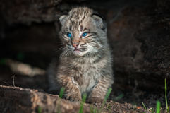 Bobcat Kitten Lynx rufus Sits Along in Log Stock Image