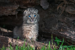 Bobcat Kitten Lynx rufus Sits Upright in Log. Captive animals Royalty Free Stock Image