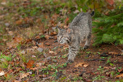 Bobcat Kitten (Lynx rufus) Stalks Along Ground Stock Images