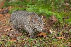 Bobcat Kitten (Lynx rufus) Stalks Along the Ground Stock Image